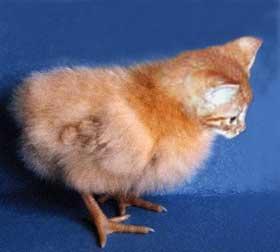 kit-chick