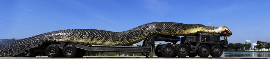 The largest anaconda Maior cobra do mundo  (4)