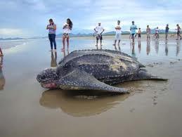 tartaruga de couro pesca de jaraqui